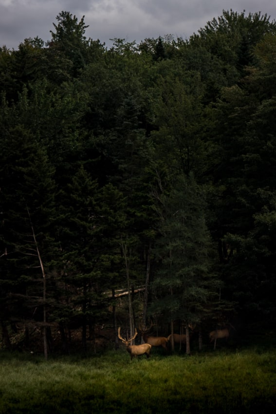 Elk in Vermont - Sarah Kozak Photography