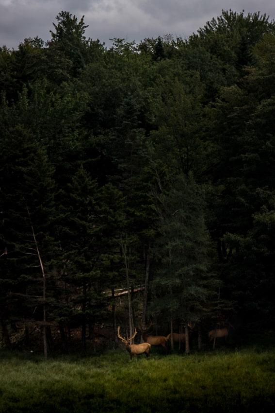 Elk in Vermont - Sarah Kozak Photography