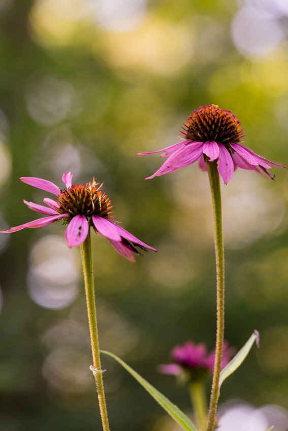 Pink Flowers - Sarah Kozak Photography
