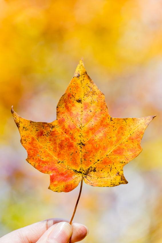 Vermont Foliage Leaf- Sarah Kozak Photography