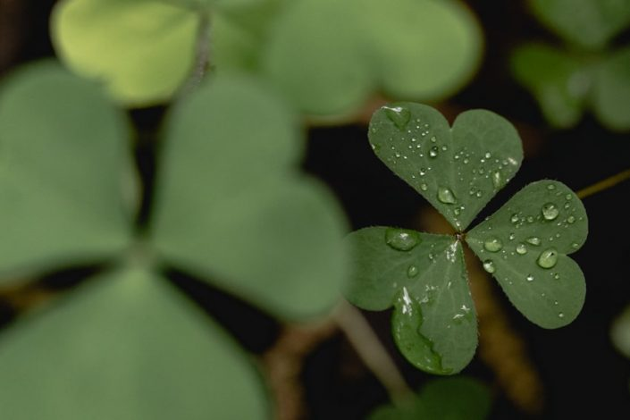 four leaf clover with water droplets - Sarah Kozak Photography