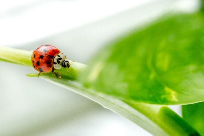 Lady bug on a leaf - Sarah Kozak Photography